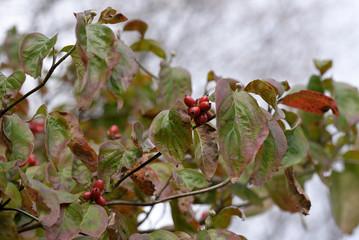 Fototapeta Red fruits of flowering dogwood, Cornus florida, on the branch