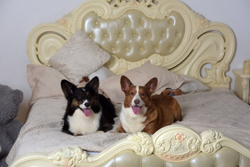two corgi lie on the bed