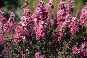 Leptospermum scoparium, commonly called Manuka myrtle or New Zealand teatree in flower