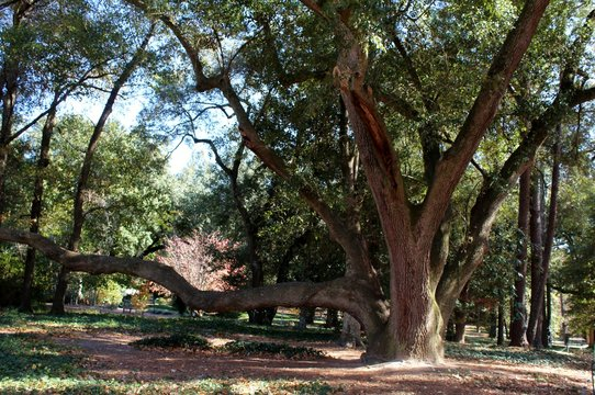 old oak tree in the park