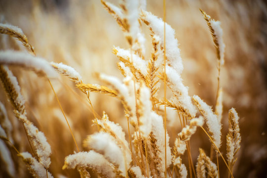 First Winter Snow Fall On Wheat Grain In Field Closeup Season Farm Industry