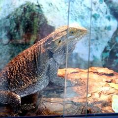 Primo piano di una iguana terrestre