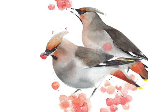 Birds waxwing watercolor painting illustration isolated on white background winter holiday greeting card