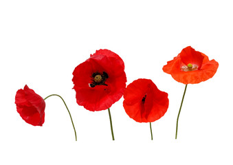 Foto op Canvas Poppy natural background with four beautiful bright red poppy flowers in different shades of red and scarlet on a white isolated