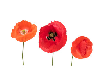Foto op Canvas Poppy natural background with three beautiful bright red poppy flowers in different shades of red and scarlet on a white isolated