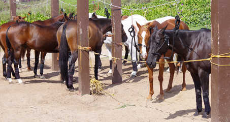 A group of polo horses waiting to be prepared for the match