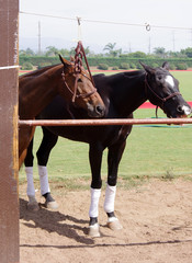 Two polo horses waiting for the match