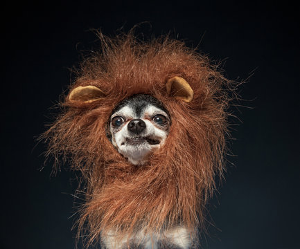 cute chihuahua in a lion mane costume isolated in a studio setting background
