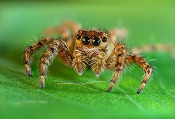 jumping spider macro photo