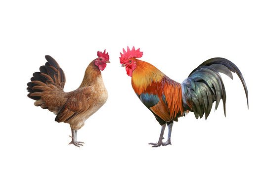 Rooster bantam or Hen,cock standing isolated on white background with clipping path