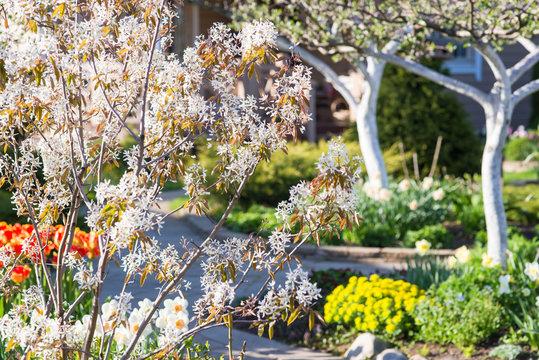 Blooming shadbush (Amelanchier lamarckii) in a beautiful garden