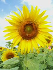 Photo sur Aluminium Tournesol Sunflowers are in full bloom.