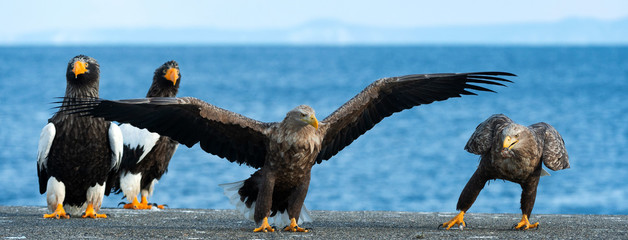 Adult White-tailed eagle is landing. Scientific name: Haliaeetus albicilla, also known as the ern,...