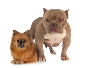 Wall Mural - american bully and spitz