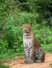 Leopard seating on a sandy road. The Sri Lankan leopard (Panthera pardus kotiya). Yala national Park. Sri Lanka