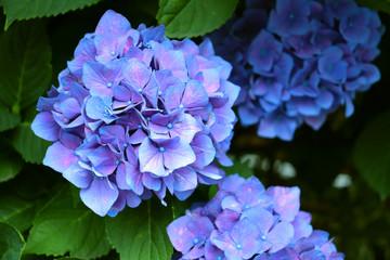 Zelfklevend Fotobehang Hydrangea 綺麗な紫陽花