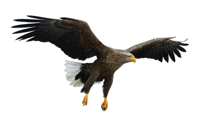 Poster Eagle Adult White tailed eagle in flight. Isolated on White background. Scientific name: Haliaeetus albicilla, also known as the ern, erne, gray eagle, Eurasian sea eagle and white-tailed sea-eagle.