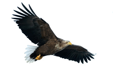 Garden Poster Eagle Adult White tailed eagle in flight. Isolated on White background. Scientific name: Haliaeetus albicilla, also known as the ern, erne, gray eagle, Eurasian sea eagle and white-tailed sea-eagle.