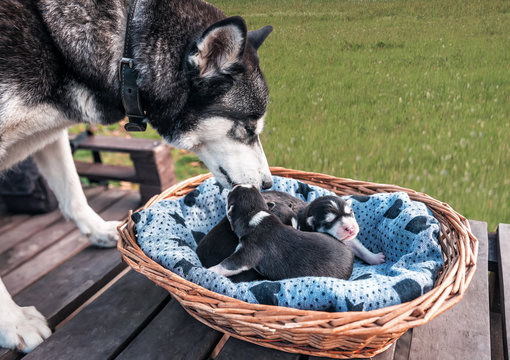 purebred husky with puppies