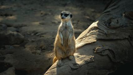 A beautiful photograph of Meerkat (Suricata Suricatta), also known as suricate. Wildlife, living on Africa.