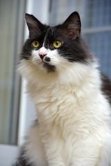 black and white fluffy  Norwegian forest cat