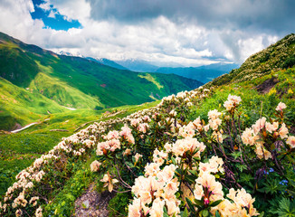 Wall Mural - Magnificent summer view of alpine meadows in the Caucasus mountains. Blooming white rhododendron flowers on the mountain hills in Upper Svaneti, Georgia, Europe.
