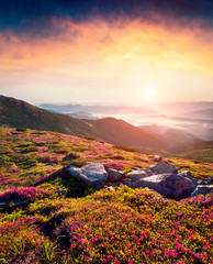 Wall Mural - Misty summer sunrise in Carpathian mountains. Fresh grass and rhododendron flowers glowing by the first sunlight on mountain hills, Chornogora, Ukraine. Beauty of nature concept background.