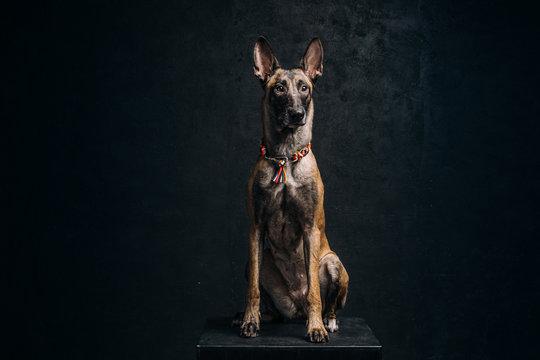 Belgian malinois shepherd dog at the dark background