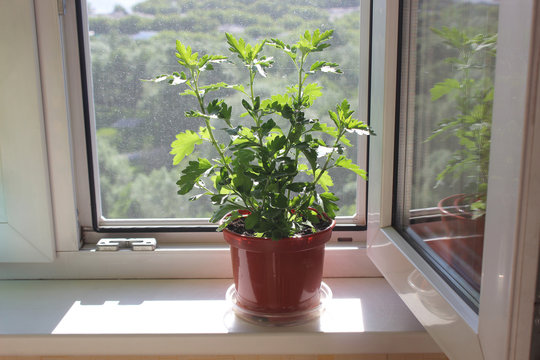 Potted plant on the windowsill on the background of a plastic window with a mosquito net