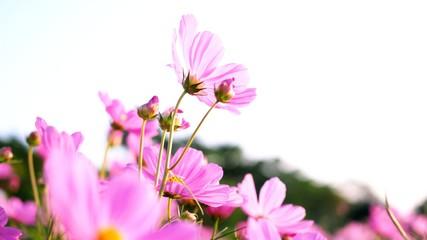 Fond de hotte en verre imprimé Univers Beautiful blooming flower with pink cosmos flower field in garden. beauty in nature.