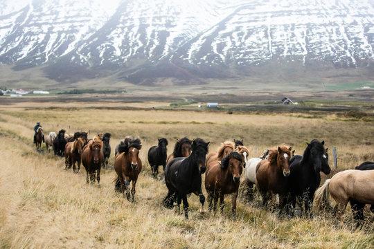 Troupeau de chevaux islandais en Islande