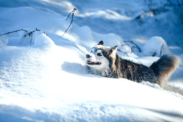 Husky dog black and white in winter sunny day, run in snow. Wall mural
