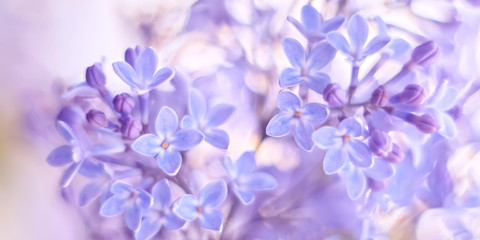 Photo sur Aluminium Lilac Beautiful delicate spring border of lilac flowers. Selective soft focus.