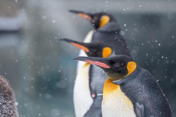 Photo sur Aluminium Pingouin 冬の動物園のペンギン / 北海道旭川市