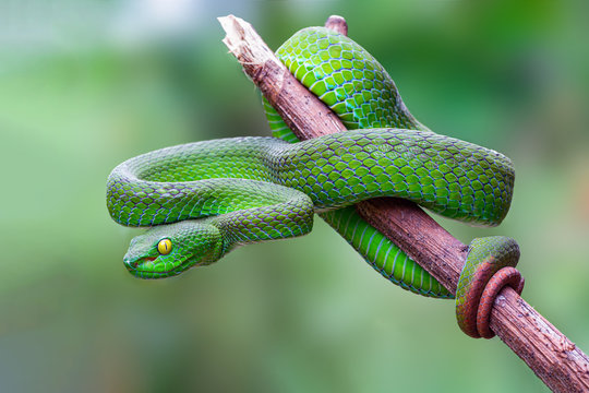 Large-eyed Pit Viper or Trimeresurus macrops, beautiful green snake coiling resting on tree branch with green background , Thailand.
