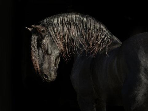 Portrait of big black horse on black backround