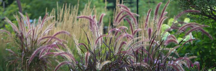 Fototapeta Purple fountain grass horizontal banner beckoning one into a mesmerizing gardenscape