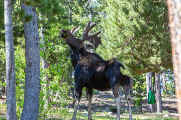 Moose in Campgrounds  Wall mural