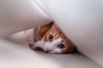 gato escondido bajo una manta se asoma y mira a la camara 2 Wall mural