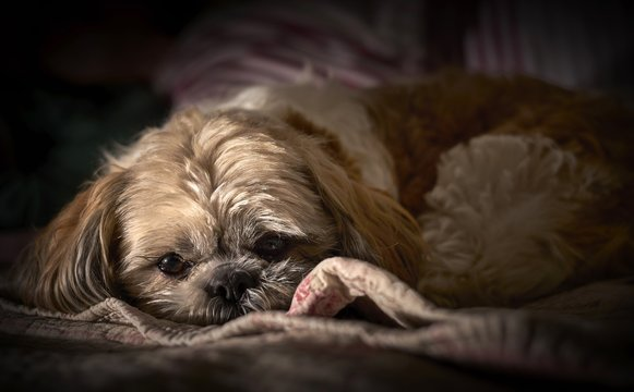 Cute fluffy Shih-poo dog laying on a blanket  with a blurred background