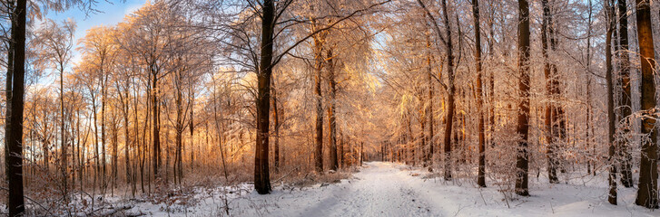 Winter forest covered in snow and bathed in the sunset's beautiful gold light, panorama format