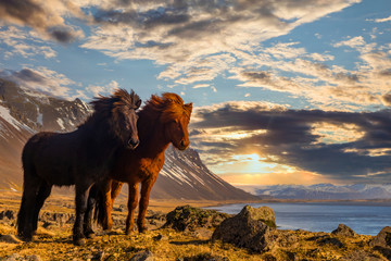 Tuinposter Paarden Icelandic horses. The Icelandic horse is a breed of horse developed in Iceland.