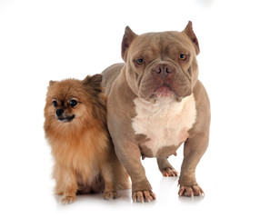 Fototapete - american bully and spitz