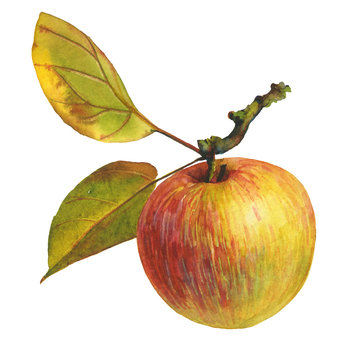 Ripe apple with leaves. Watercolor collection of garden gifts. Ideal for illustrating botanical topics, healthy food, clothing, quotes, patterns, cards, autumn harvest, packaging of juices and jam