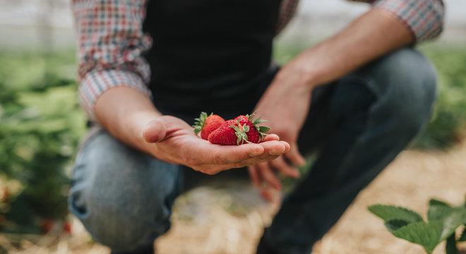 Ripe strawberry in hand of gardener in greenhouse