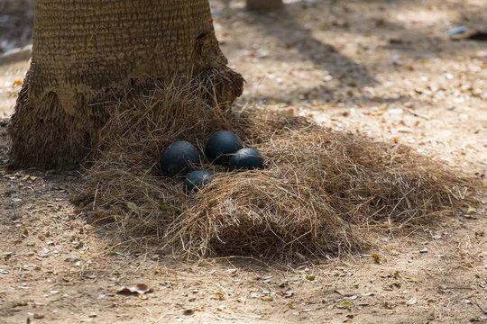 emu's eggs in the nest