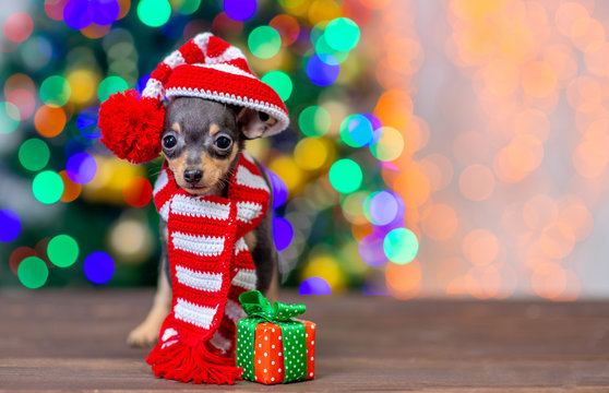 Funny tiny toy terrier puppy wearing a warm scarf and  hat with pompon stands with gift box on festive Christmas background. Empty space for text
