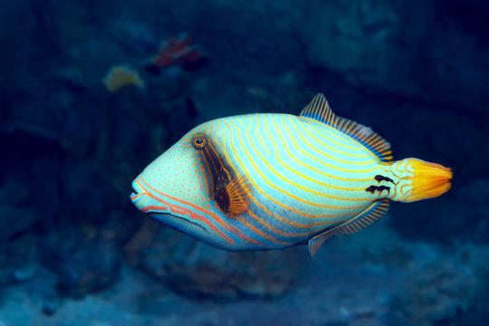 Tropical Orange-lined triggerfish (Balistapus undulatus) at coral reef