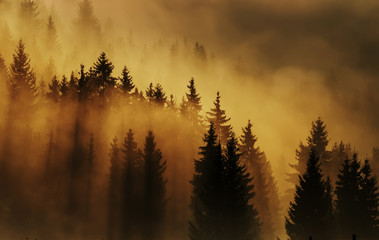 Fotobehang - Fantastic view of the early morning in the mountains. Silhouettes of rows of fir trees on the slopes of the mountains in the sun and clouds of fog. Dark photo in the morning twilight. Dramatic fog and