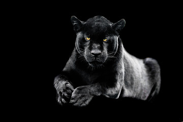 Jaguar with a black background